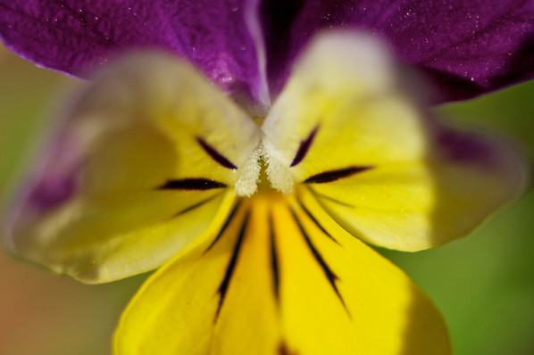 Tiny little flower in the garden - very close up.  Three extension tubes.  Manual aperture f1.8