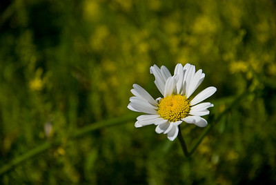 More daisies.  There are so many in the yard  - blooming like mad.